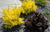Front yard foundation bed with Golden Nugget and Concorde Barberry
