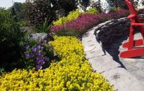 Mass Planting of perennials. Sedum Acre, Carpet Bellflowers and Dianthus