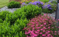 Mass planting of perennials of Dianthus, Carpet Bellflowers, Asters and Pansies